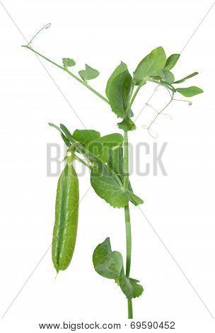 Branch Sugar Snap Pea