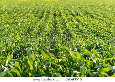 Young Maize Plants In An Agricultural Field
