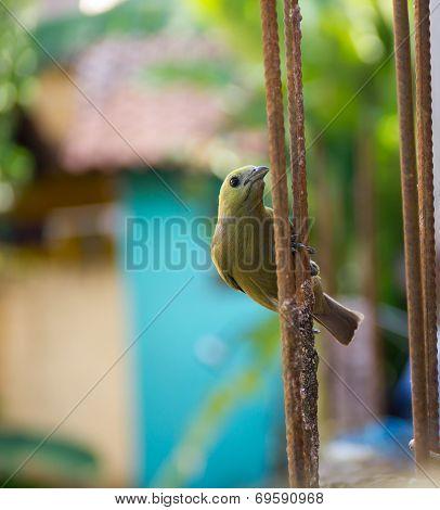 Canary In Urban Territory