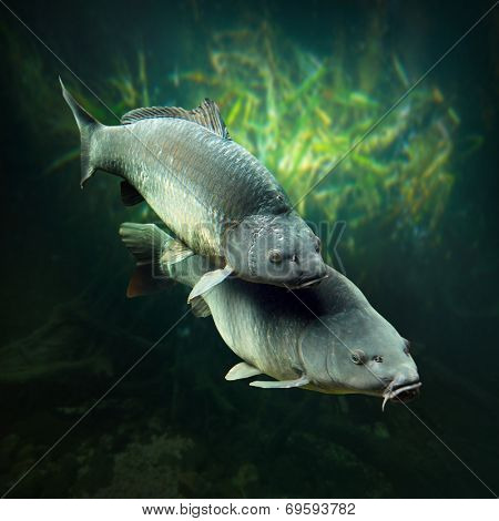 Underwater photo of a spawning big Carps (Cyprinus Carpio).