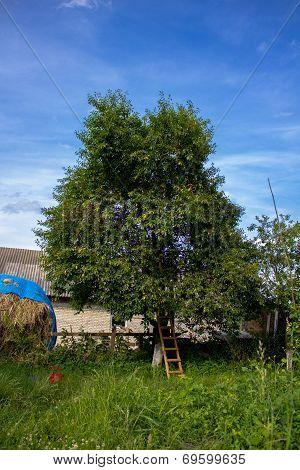 Cherry Tree And Ladder
