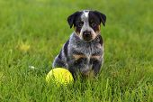picture of blue heeler  - An adorable spotted Australian Cattle Dog  - JPG