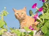 image of blue tabby  - Handsome orange tabby cat peeking out from middle of flowers on top of a high trellis - JPG