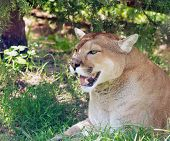 picture of mountain lion  - Mountain lion resting in a shade of a tree on a hot summer day - JPG