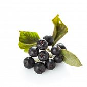 stock photo of chokeberry  - Black chokeberry - JPG