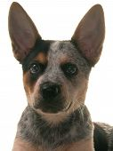 pic of blue heeler  - Blue Heeler dog head shot on white - JPG