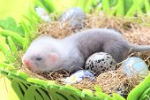pic of ferrets  - Two weeks old cute ferret baby in the nest of hay with decorations - JPG