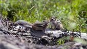 foto of chipmunks  - A Wild Chipmunk in the wild under  - JPG