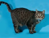 stock photo of blue tabby  - Tabby nice cat standing on blue background - JPG