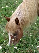 picture of horses eating  - The horse with a bright mane eats grass - JPG