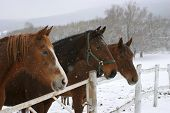 image of stable horse  - Brown horses in a stable at winter time - JPG