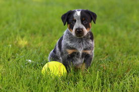 stock photo of heeler  - An adorable spotted Australian Cattle Dog  - JPG