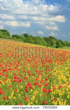 Poppies and conola