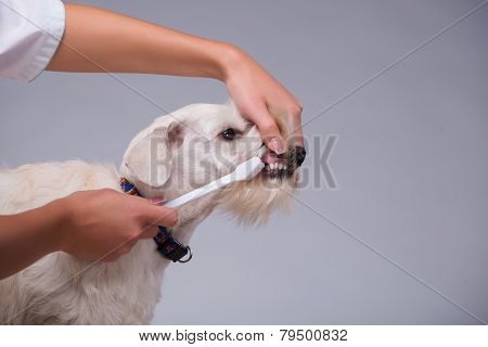Female veterinarian examines little dog teeth