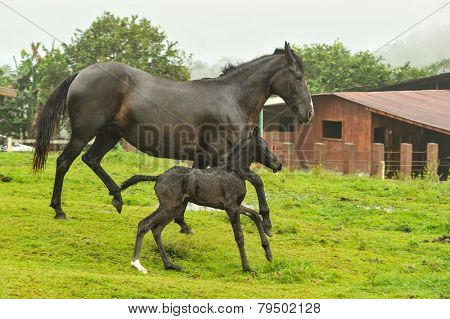 Mother And Two Day Old Horses Running In Field