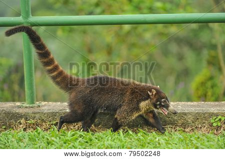 Happy White-nosed Coati Walks Near Railing