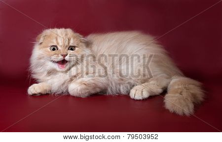 Ginger Tabby Cat Scottish Fold Hissing On Burgundy