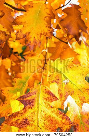 Autumn Foliage From A Red Oak