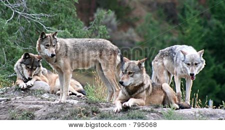 Lobos de madera