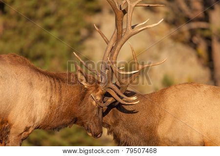 Bull Elk Fighting