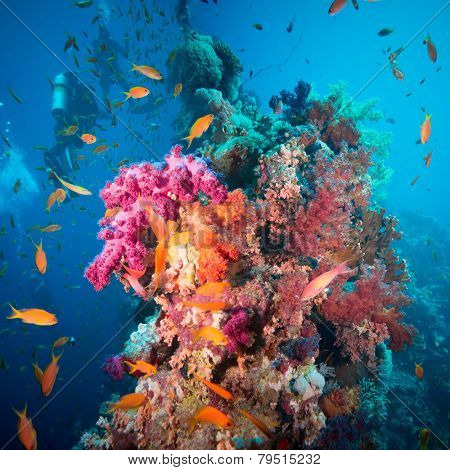 A scuba diver swimming underwater with fishes in the Red Sea