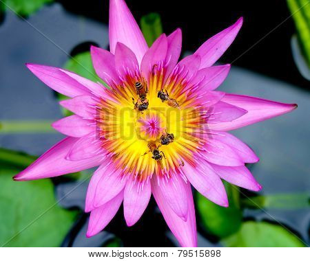 Bee Collecting Pollen From Lotus Flower
