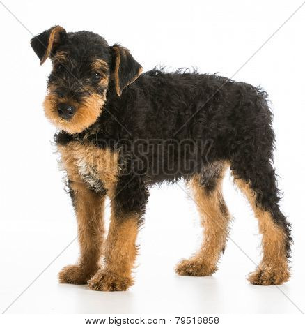 airedale terrier puppy standing on white background