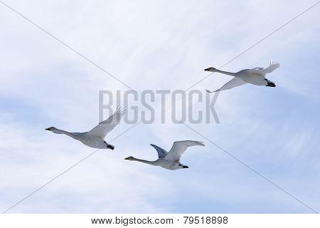 Cygnus cygnus, whooper swan in the sky.