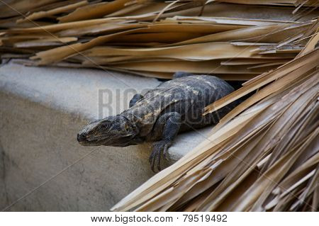 Iguana Living In The Roof Preparing To Jump Puerto Escondido Mexico