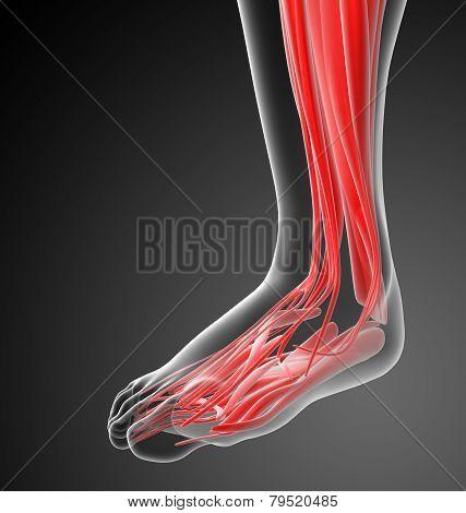 3D Render Medical Illustration Of The Human Foot