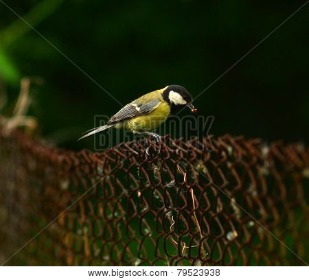 bird  titmouse in a city park wildlife