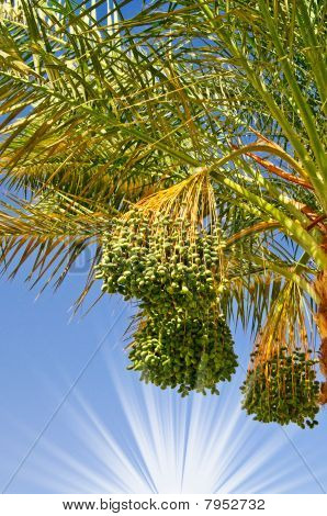 Date Palm Branch With Green Unripe Dates And Sun.