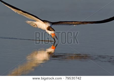 Black skimmer flying to drink water