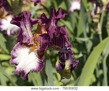 Iris Of Violet And White Colours