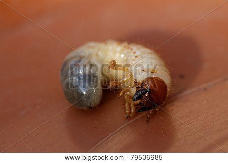 May Beetle Larvae - Melolontha Melolontha