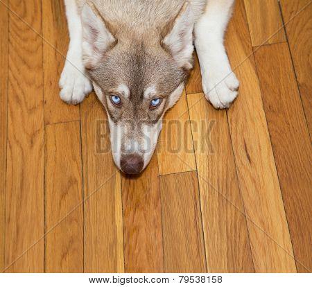 Blue-eyed Husky Looking Up