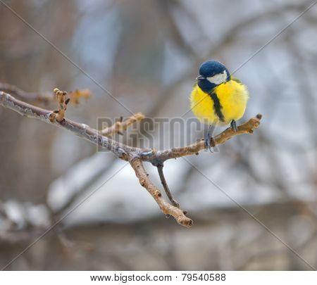 Blue Tit On Branch (parus Caeruleus)