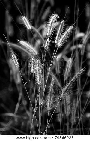 B&w Of Grass Flower On Morning