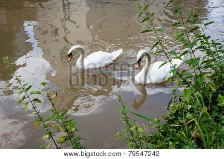Two curious swans in city river