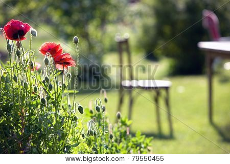 Red Poppies In The Garden Chairs Garden Background