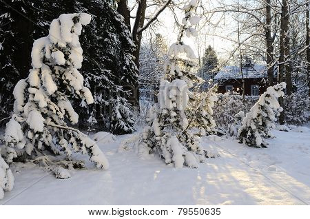 Winter Landscape, Pine Trees Covered With Snow