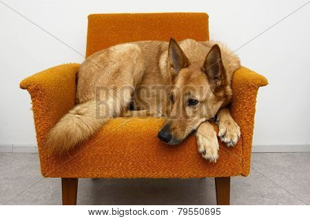 Brown Dog Lying In The Orange Chair