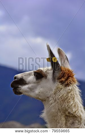 Face of a llama or alpaca