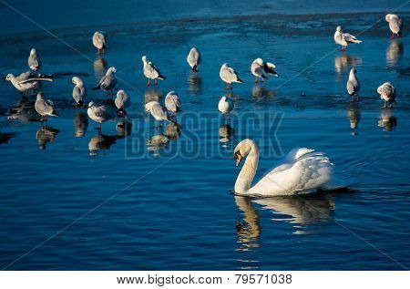 Swan And Seagulls On Frozen Lake