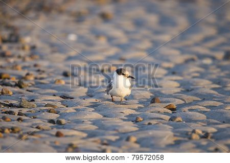 Common Tern On Sand