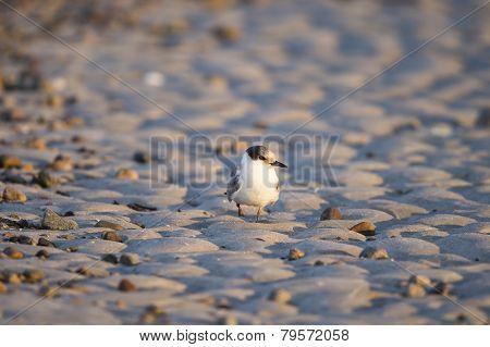 Common Tern On Sand