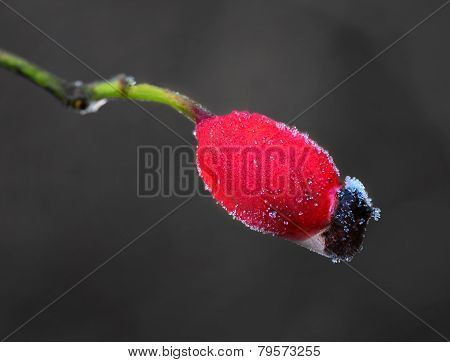 Rose Hip With Rime Frost