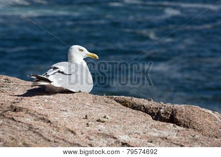 Seagull rests on the cliff edge and looks out to sea. Acadia National Park, Bar Harbor, Maine, USA