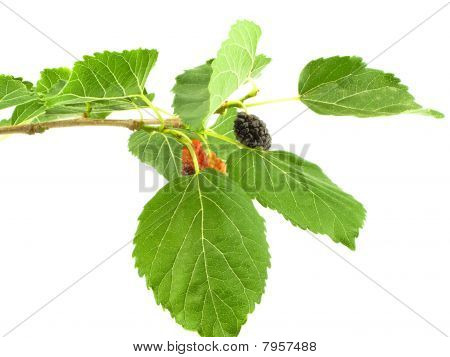 Mulberry On Branch