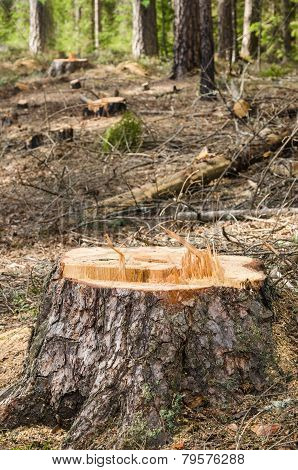 Pine Stump After Deforestation, Close-up